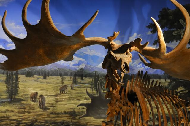 トナカイの化石(福井県立恐竜博物館)