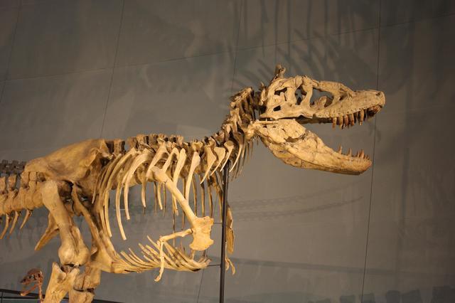 タルボサルス・バタールの化石